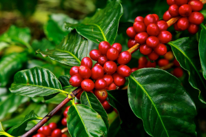 Ripe coffee beans in Christmas colors, with waxy green leaves